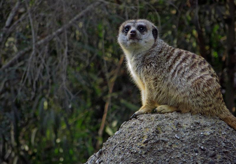 Slender-Tailed Meerkat. Used 500mm-equiv zoom.  #0968