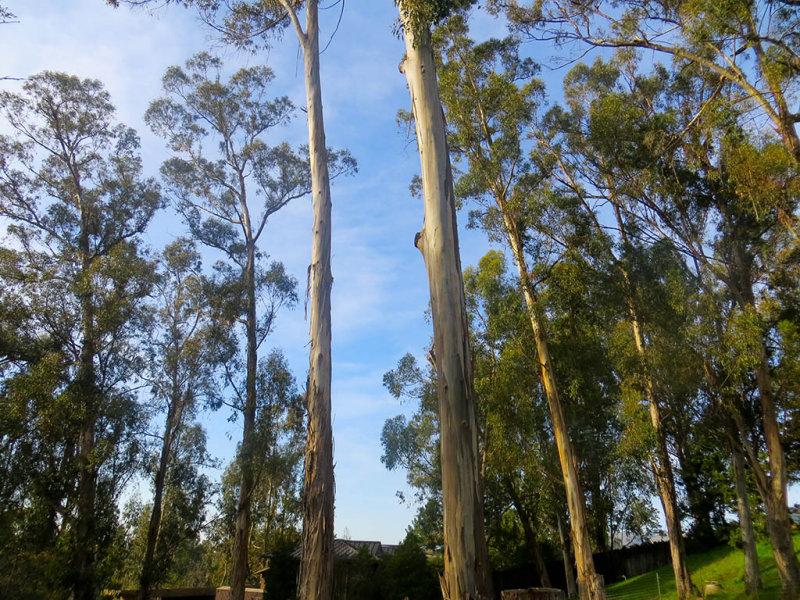 The zebra landscape. Eucalyptus. #0932