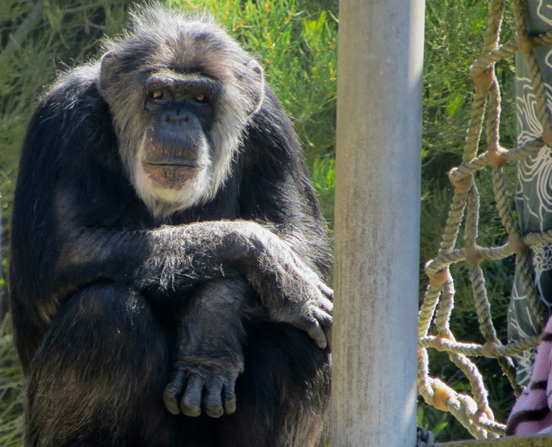 This was a second chimp, who just sat there on the side. watching the crowds. 1148.
