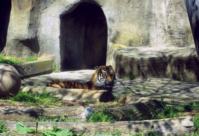 In the tigers current surroundings. 1158a