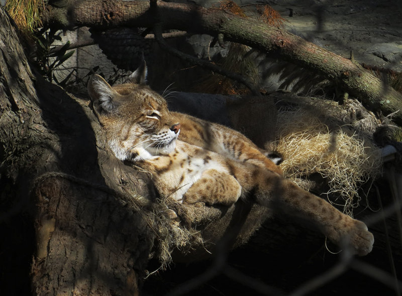 This bobcat prefers the shade. 1179