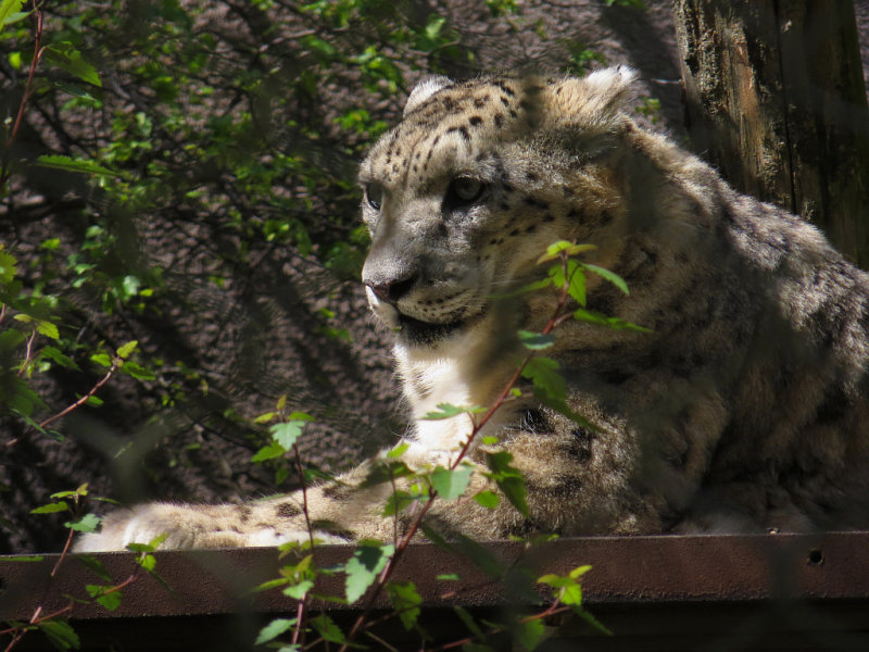 Snow leopard can be seen only through fencing (or pexiglass on the other side). mImg_1687.jpg