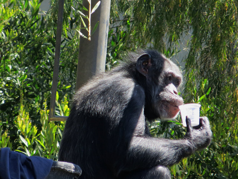 After lunch, saw that  the chimps are next door to Lemur Cafe. mImg_1696r.jpg