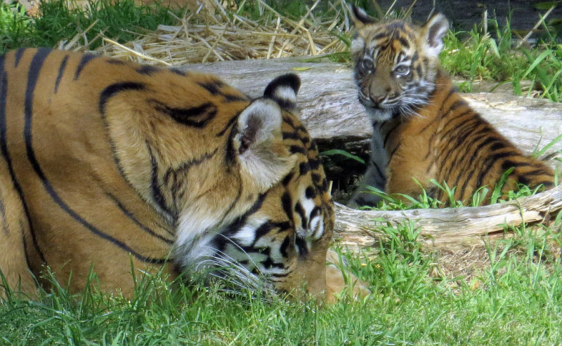 Cub looks so understanding! here, instead of the wild Where am I? look. mImg_2204r.jpg