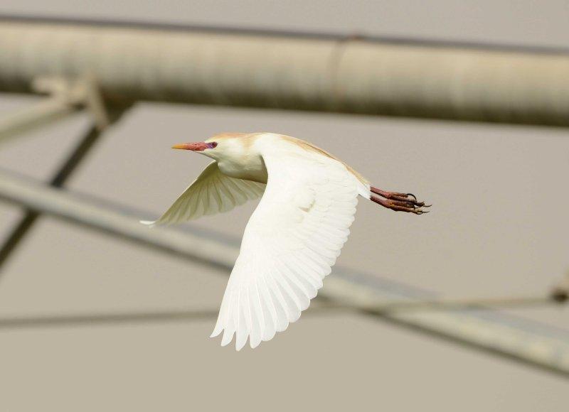 8. Western Cattle Egret - Bubulcus ibis