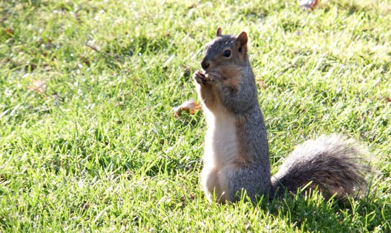 ISU School of Engineering Squirrel DSCF7516.jpg
