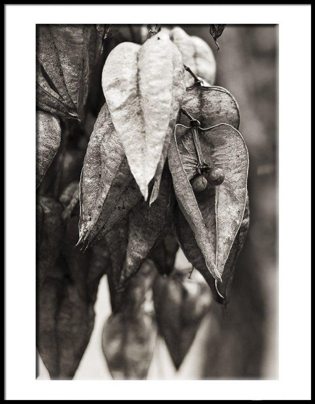 Golden Raintree Pods Remaining