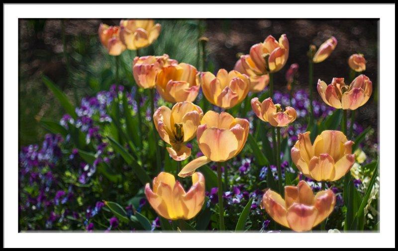 Tulips and Violas