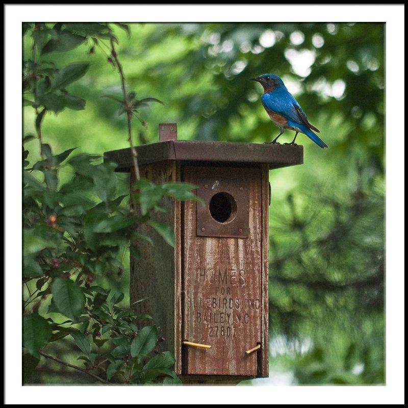 Bluebird on House