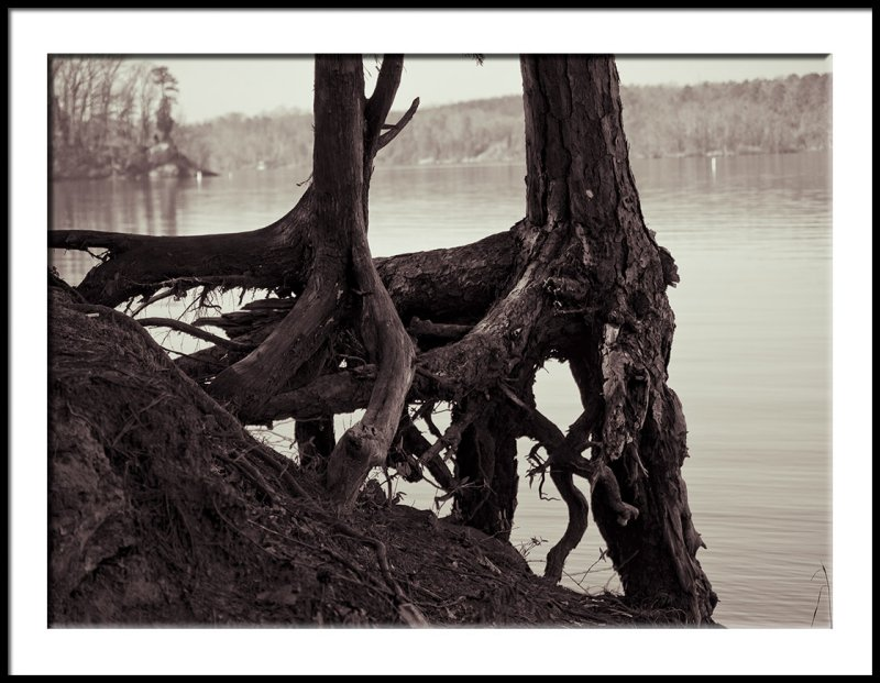 Exposed Roots at Mt. Island Lake