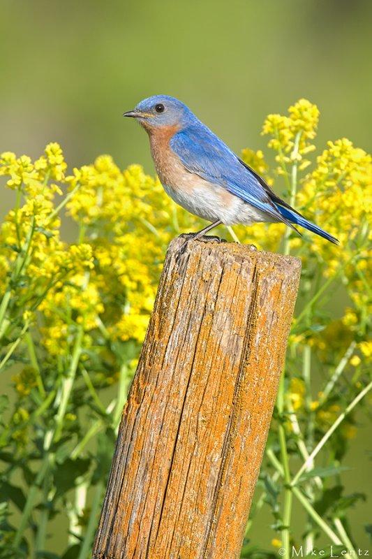 Eastern Bluebird on field post