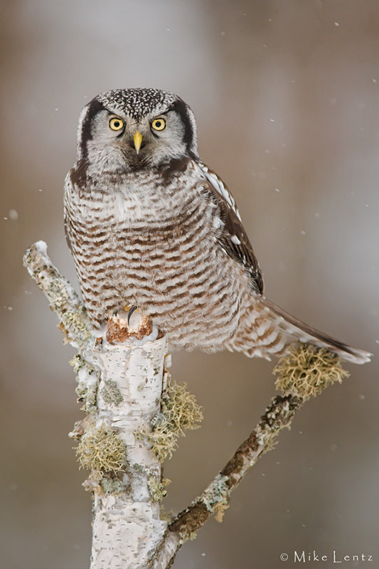 Northern Hawk Owl in winter scene