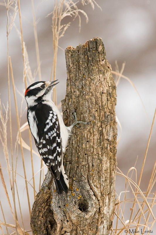 Downy Woodpecker (male)