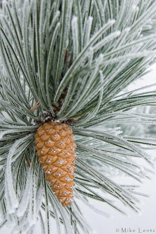 Pine cone hoar frost