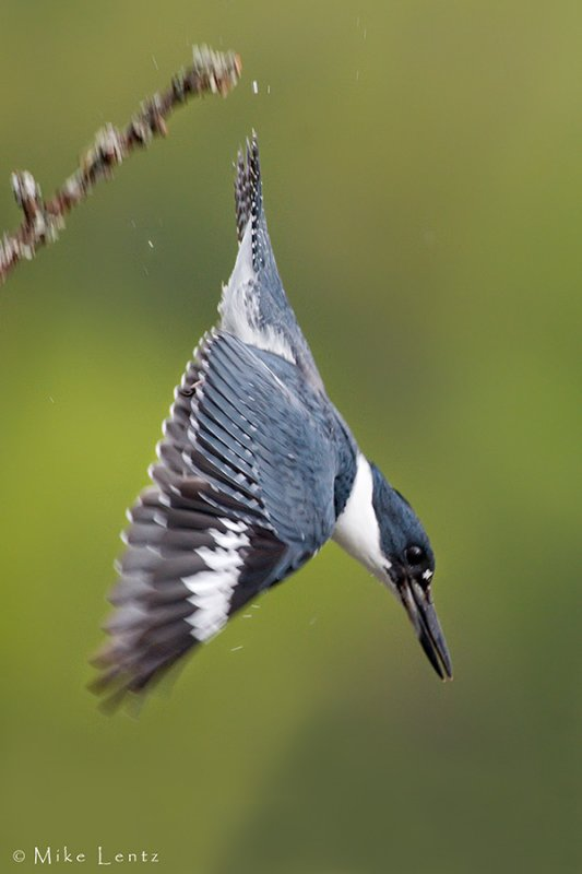Belted Kingfisher dives