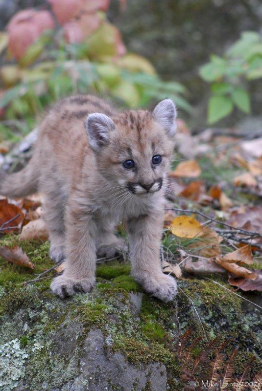 Cougar pup