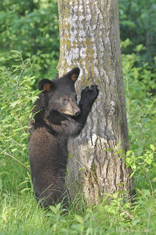 Bear cub tree hugger