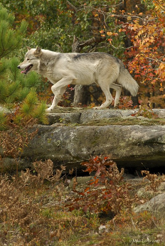 Wolf verticle fall scene