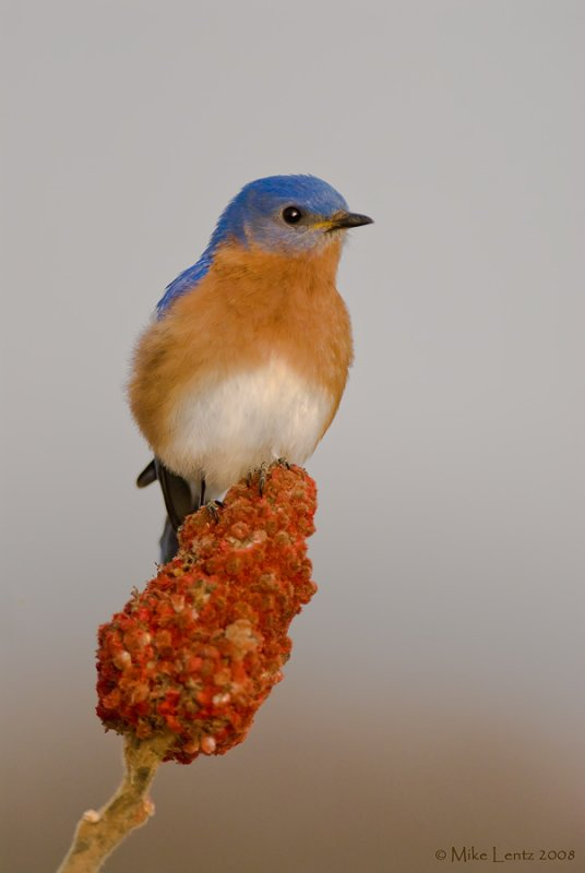 Bluebird on sumac