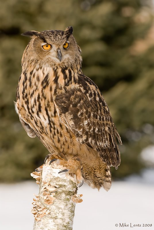 Eagle Owl on birch log