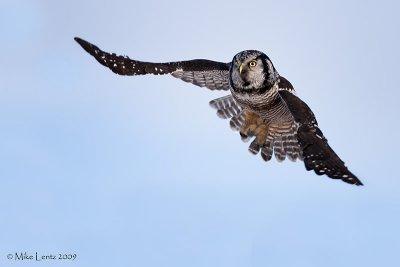 Northern Hawk Owl flyby
