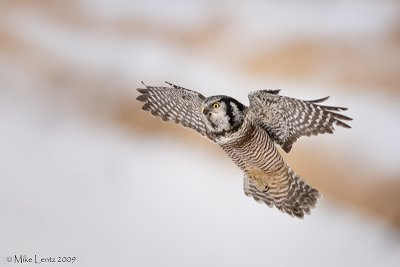 Northern Hawk Owl approaches
