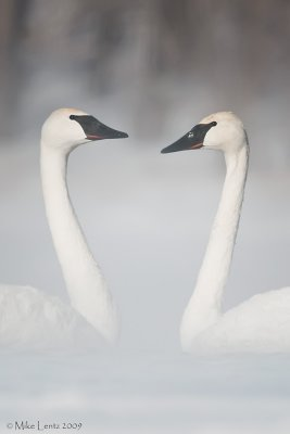 Trumpeter Swans face to face