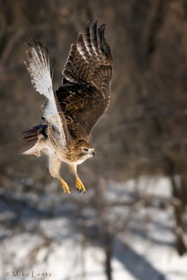 Redtail Hawk jumps!
