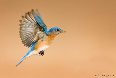 Bluebird flys by