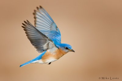Bluebird male in flight