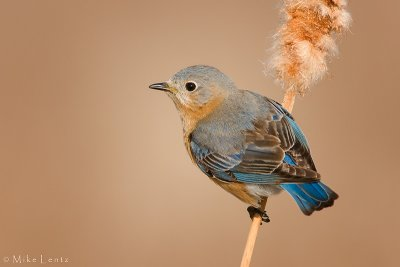 Bluebird cattail perch