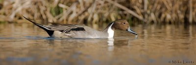 Northern Pintail (pano)