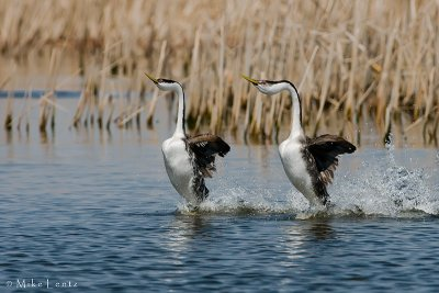 Western Grebes in sync rushing