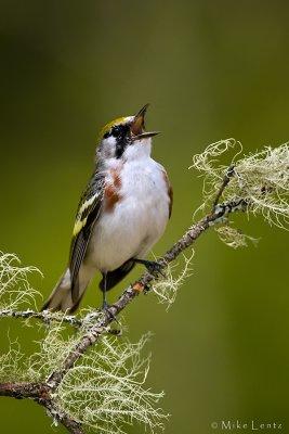 Chestnut sided warbler  (juvie)