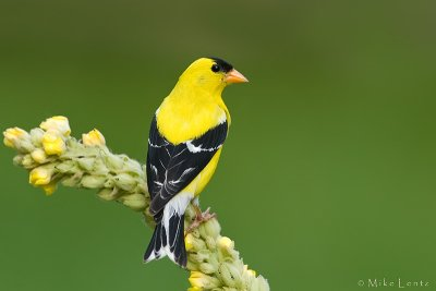 American Goldfinch on common mullien
