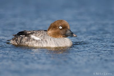 Common Goldeneye (hen)