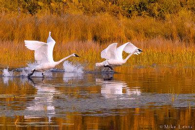Trumpeter swans autumn takeoff