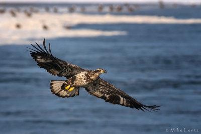 River of eagles