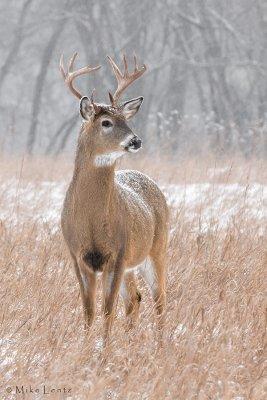 Snowy Buck Portrait