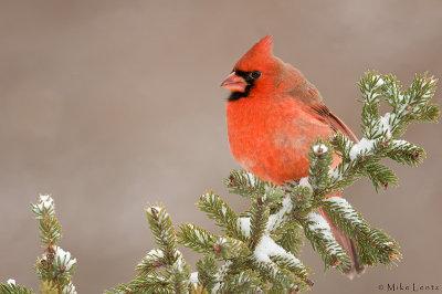 Northern Cardinal in wintery scene
