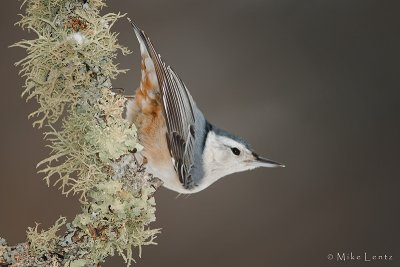 Whit- breasted nuthatch
