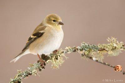 American Goldfinch (winter plummage)
