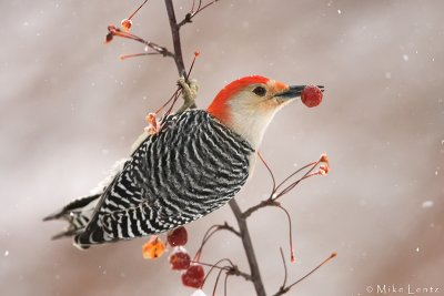 Red Bellied Woodpecker feasting on berry