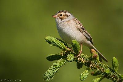 Clay Colored Sparrow