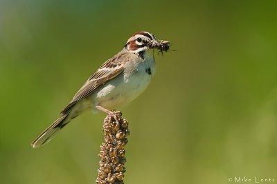 Lark sparrow with cricket
