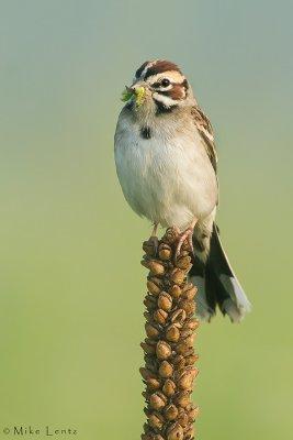 Lark Sparrow in foggy scene
