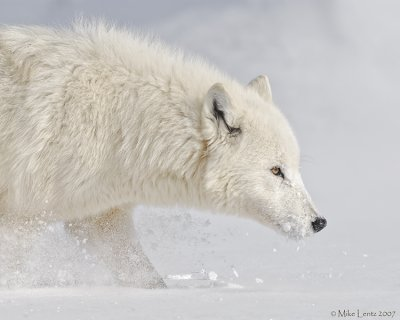 Arctic wolf on snif