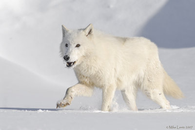 Arctic Wolf prancing