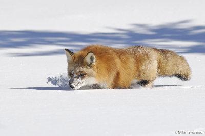 Fox sniff