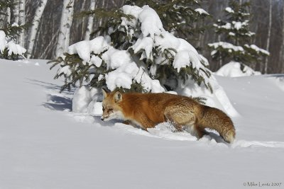 Fox at the pines